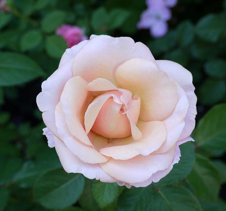 インフィニティローズ(ミニバラ)の花が咲いた。2017年-9.jpg