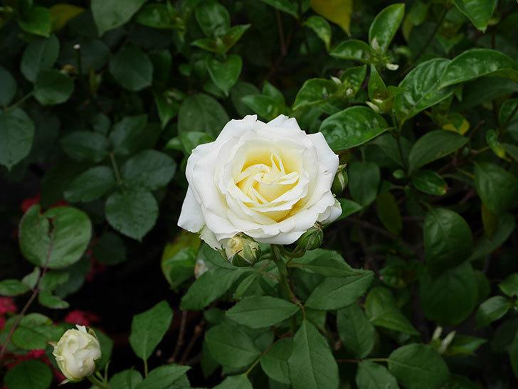 インフィニティローズ(ミニバラ)の花が咲いた。2018年-4.jpg