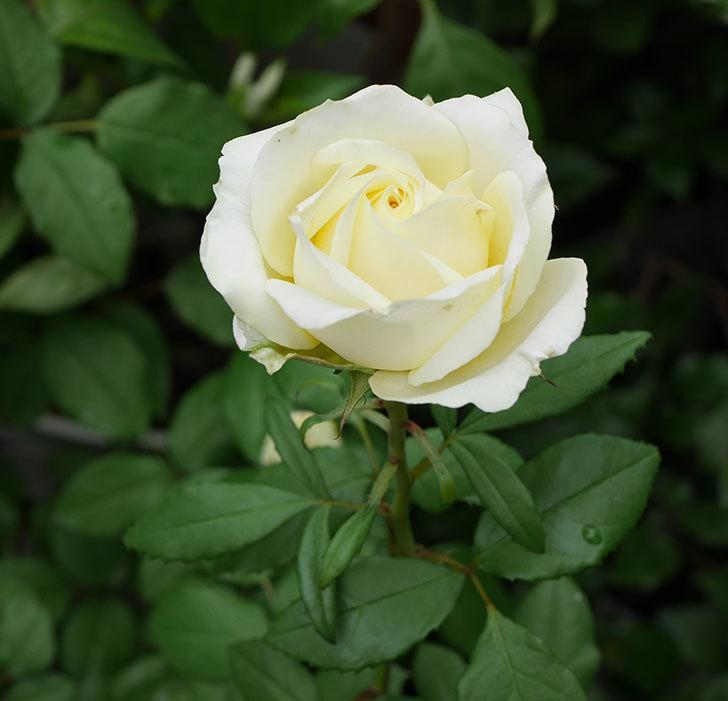 インフィニティローズ(ミニバラ)の花が咲いた。2018年-5.jpg