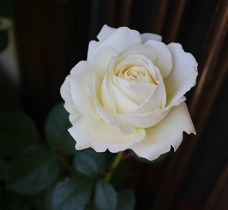 インフィニティローズ(ミニバラ)の花が咲いた。2019年-1.jpg