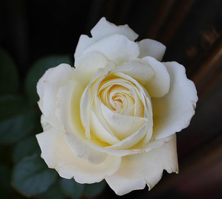 インフィニティローズ(ミニバラ)の花が咲いた。2019年-2.jpg