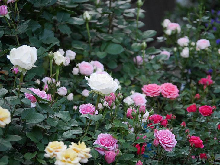 インフィニティローズ(ミニバラ)の花が咲いた。2020年-10.jpg