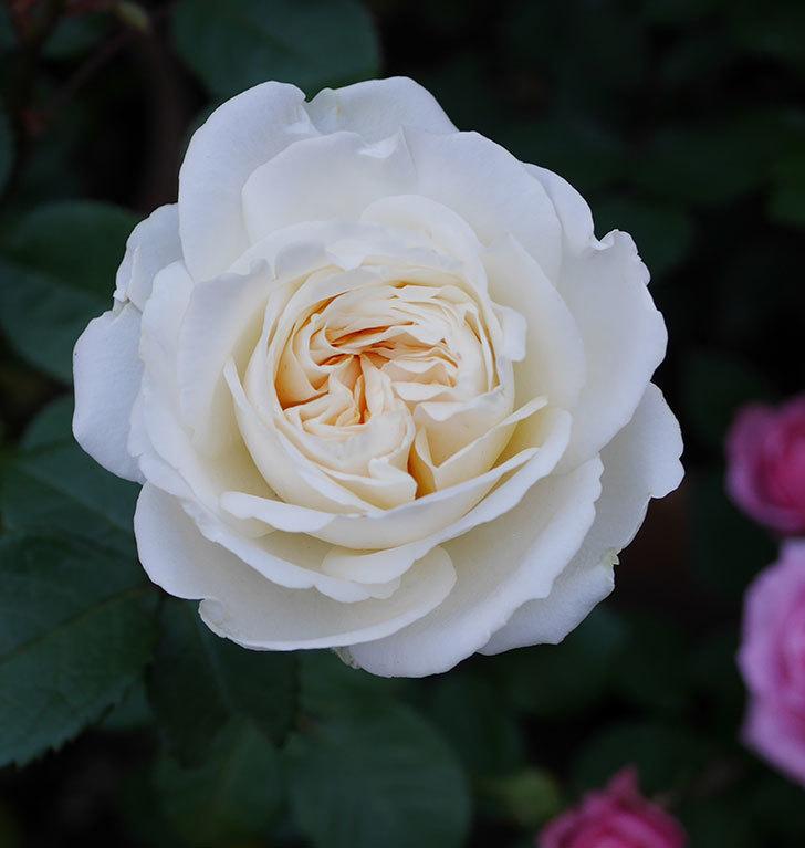 インフィニティローズ(ミニバラ)の花が咲いた。2020年-2.jpg