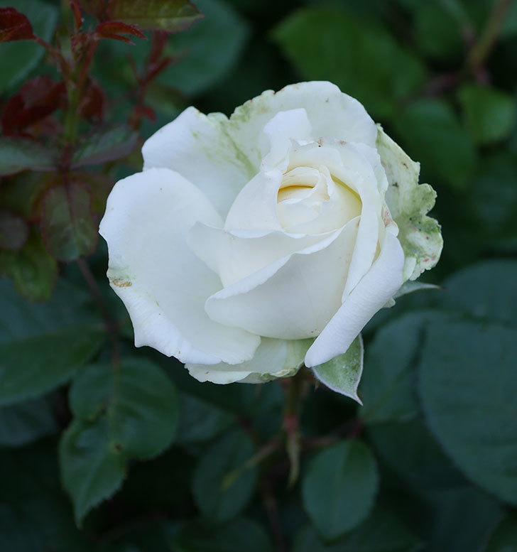 インフィニティローズ(ミニバラ)の花が咲いた。2020年-4.jpg