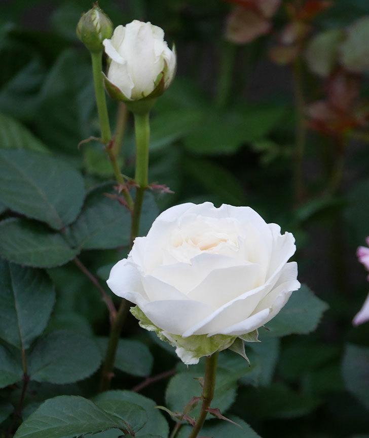 インフィニティローズ(ミニバラ)の花が咲いた。2020年-5.jpg