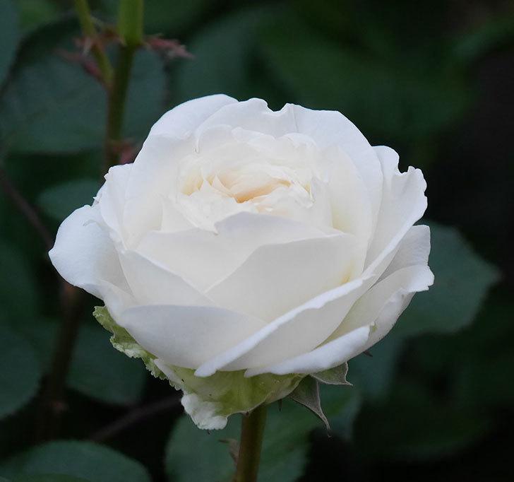 インフィニティローズ(ミニバラ)の花が咲いた。2020年-7.jpg