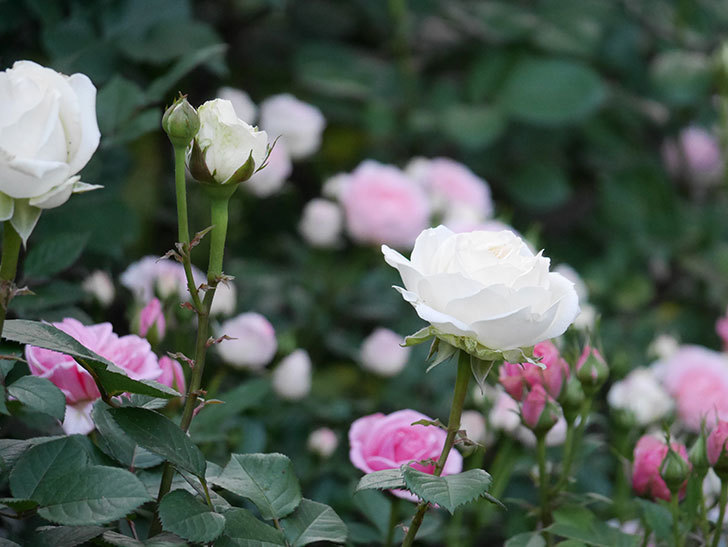 インフィニティローズ(ミニバラ)の花が咲いた。2020年-8.jpg