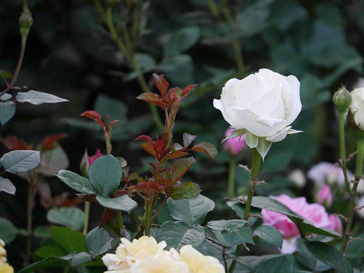 インフィニティローズ(ミニバラ)の花が咲いた。2020年-9.jpg
