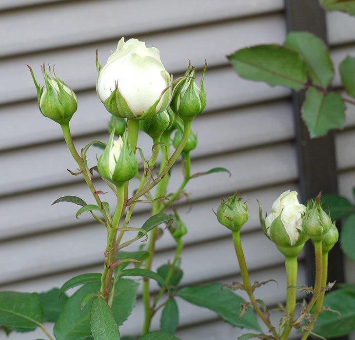 インフィニティローズ(ミニバラ)の花が咲きだした。2017年-3.jpg