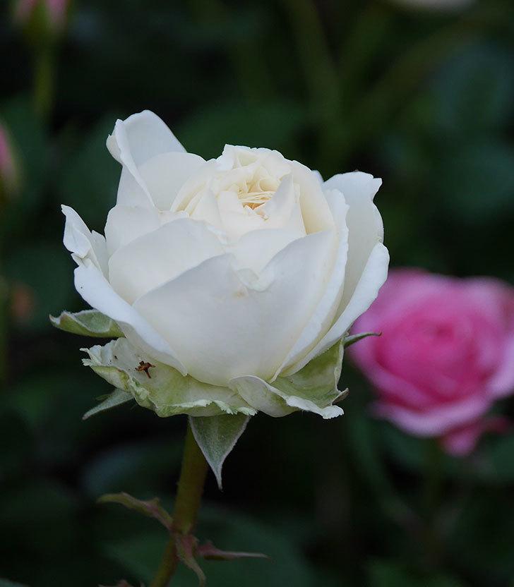 インフィニティローズ(ミニバラ)の花が咲きだした。2020年-1.jpg