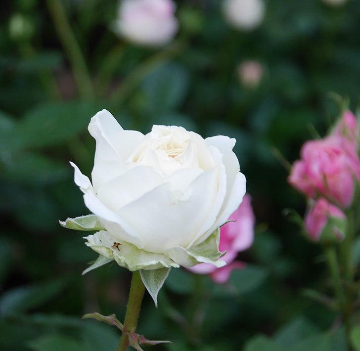 インフィニティローズ(ミニバラ)の花が咲きだした。2020年-4.jpg