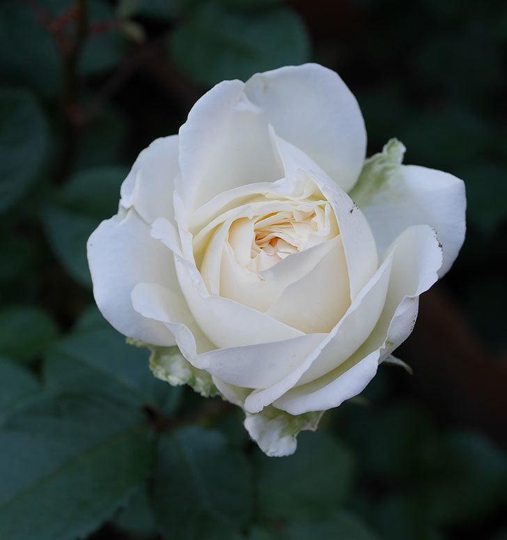 インフィニティローズ(ミニバラ)の花が咲きだした。2020年-6.jpg
