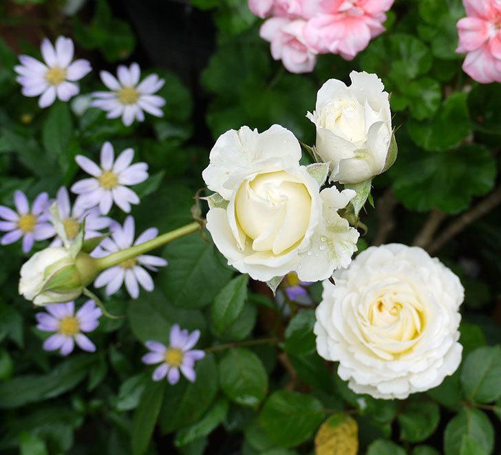 インフィニティローズ(ミニバラ)の花が増えてきた。2017年-1.jpg