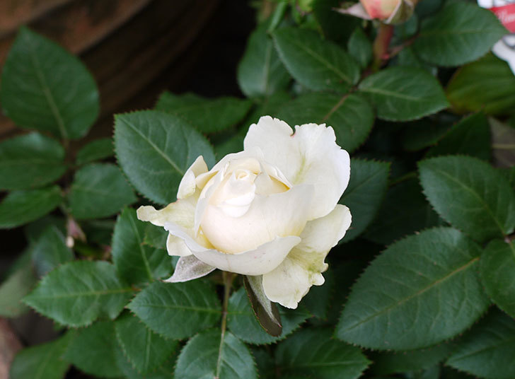 インフィニティローズ(ミニバラ)の花が大きくなってきた。2016年-1.jpg