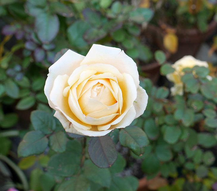 インフィニティローズ(ミニバラ)の花が寒くても綺麗に咲く。2017年-1.jpg
