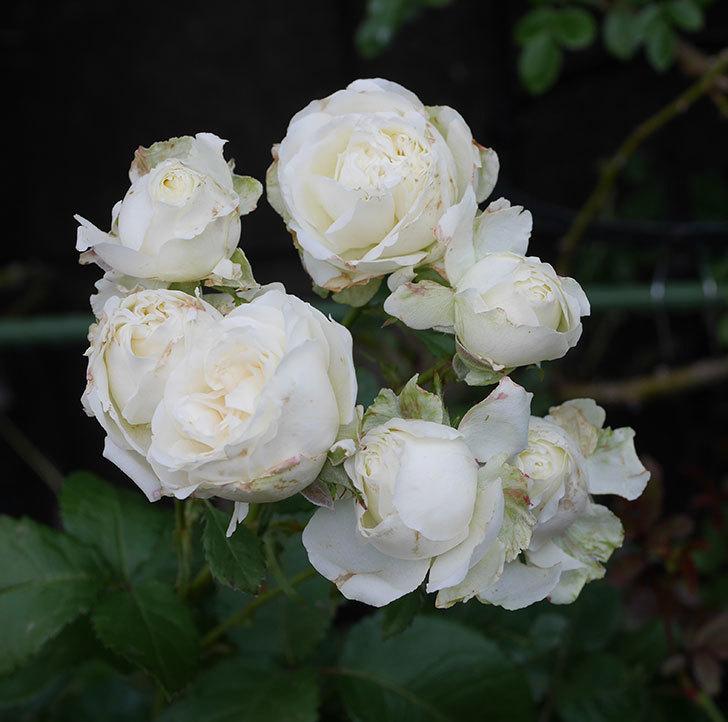 インフィニティローズ(ミニバラ)の花が房で咲いた。2019年-1.jpg