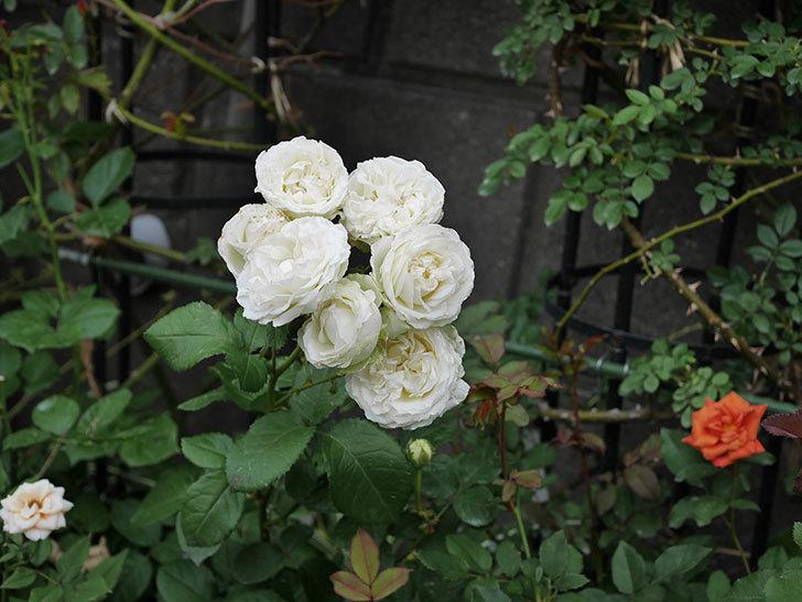 インフィニティローズ(ミニバラ)の花が房で咲いた。2019年-10.jpg