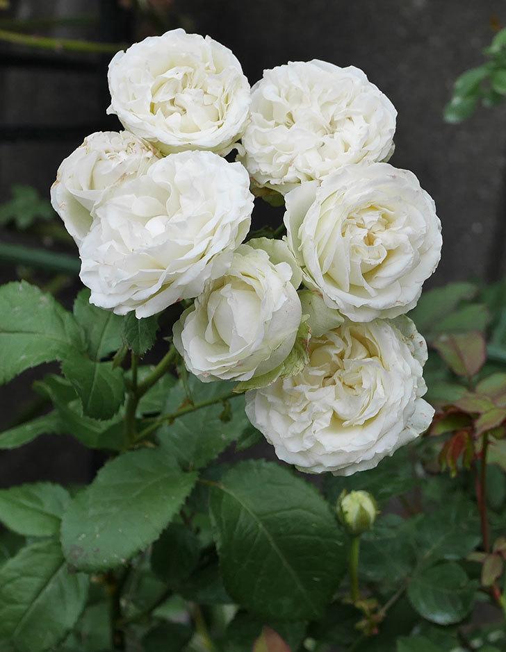 インフィニティローズ(ミニバラ)の花が房で咲いた。2019年-11.jpg