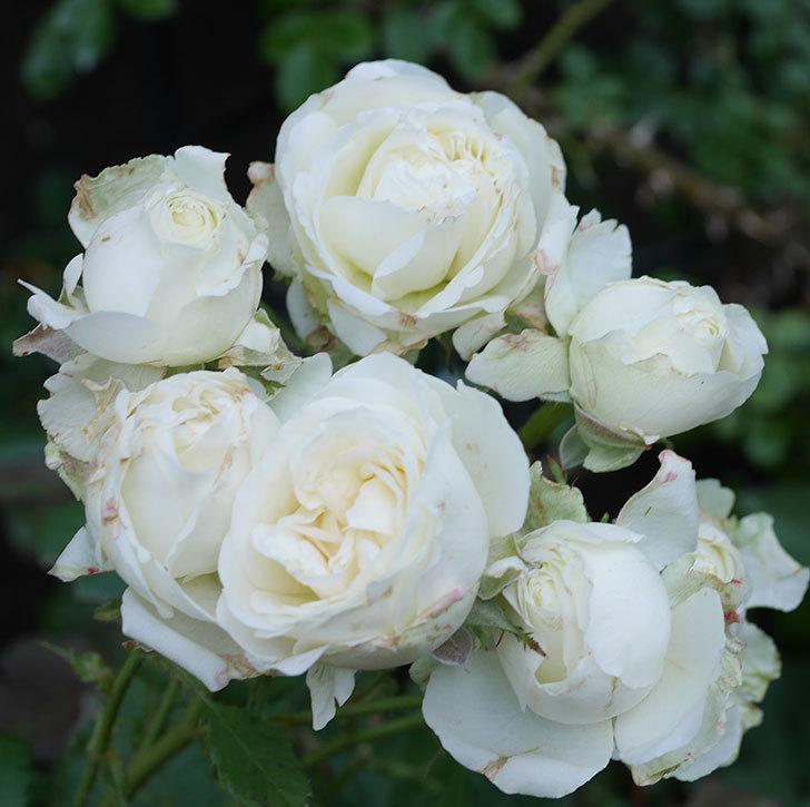 インフィニティローズ(ミニバラ)の花が房で咲いた。2019年-2.jpg