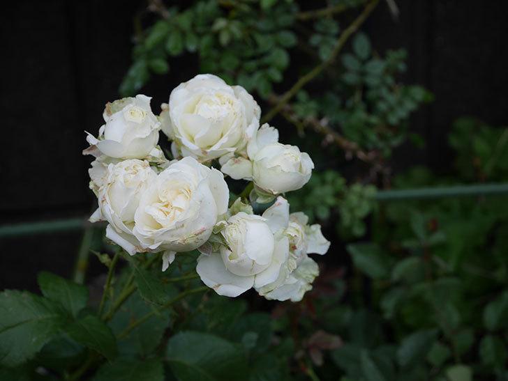 インフィニティローズ(ミニバラ)の花が房で咲いた。2019年-3.jpg