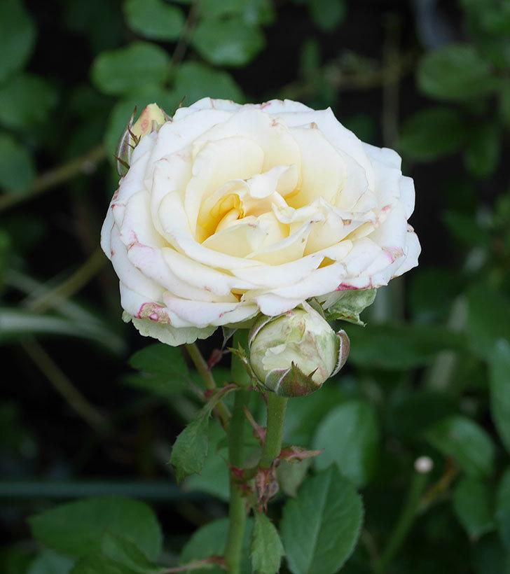 インフィニティローズ(ミニバラ)の花が房で咲いた。2019年-4.jpg