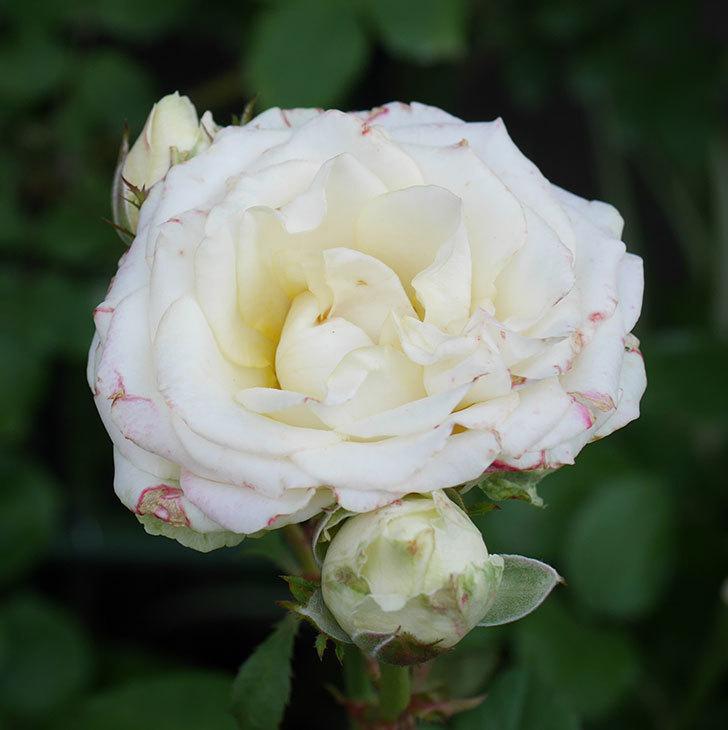 インフィニティローズ(ミニバラ)の花が房で咲いた。2019年-5.jpg