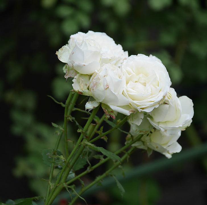 インフィニティローズ(ミニバラ)の花が房で咲いた。2019年-6.jpg
