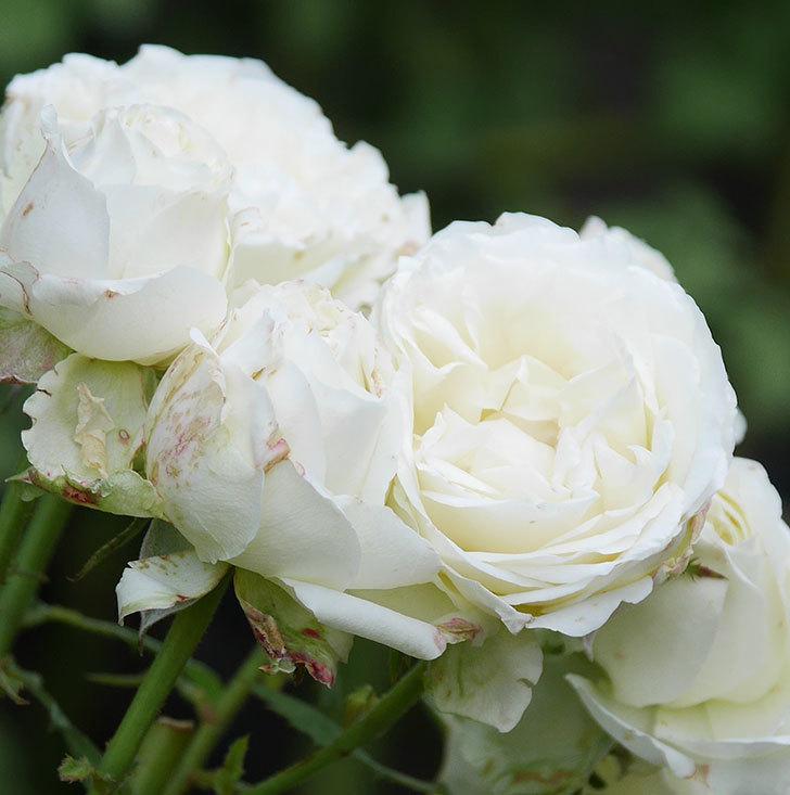 インフィニティローズ(ミニバラ)の花が房で咲いた。2019年-7.jpg