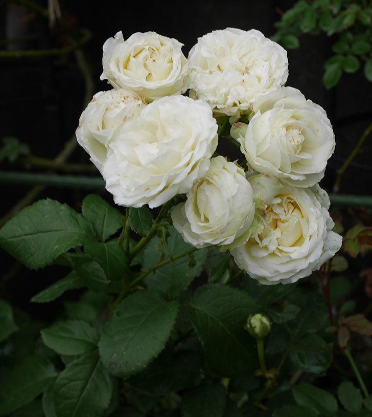 インフィニティローズ(ミニバラ)の花が房で咲いた。2019年-8.jpg