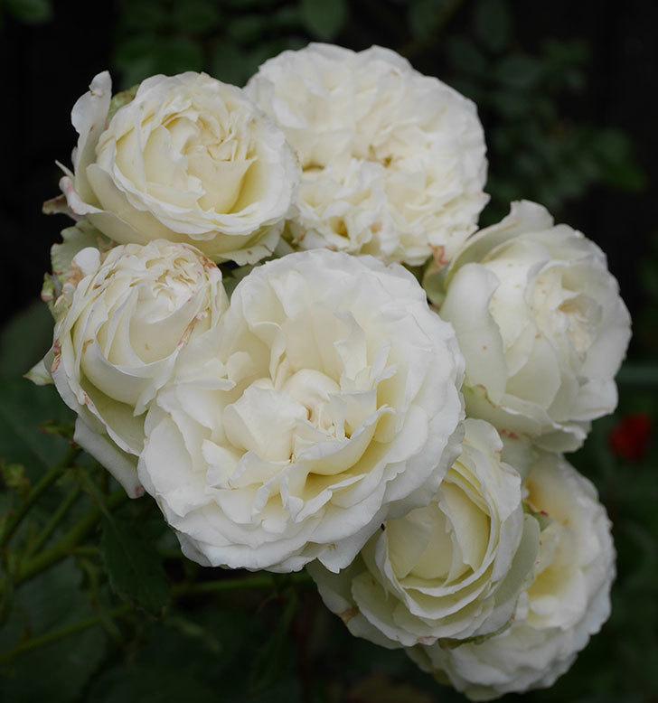 インフィニティローズ(ミニバラ)の花が房で咲いた。2019年-9.jpg