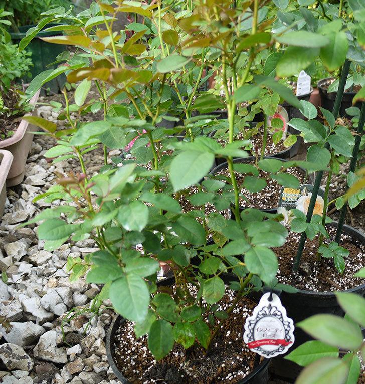 インフィニティローズ(ミニバラ)を8号のEUロングスリット鉢に鉢増しした。2016年-6.jpg