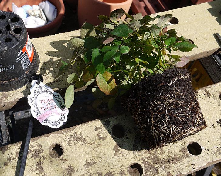 インフィニティローズとプリンセス-オブ-インフィニティをスリット鉢に植えた。2016-7.jpg
