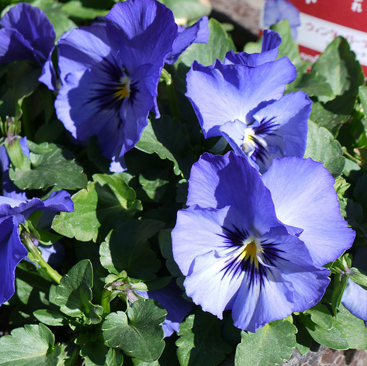 ウィンターパーティー(パンジー)ブルーファンタジーの花が増えてきた。2017年-3.jpg