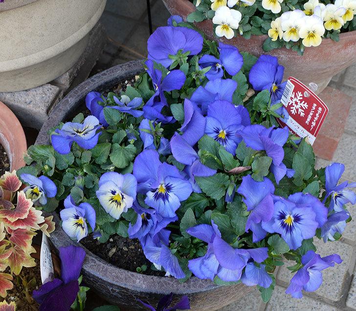 ウィンターパーティー(パンジー)ブルーファンタジーの花が鉢全体に広がった。2017年-1.jpg