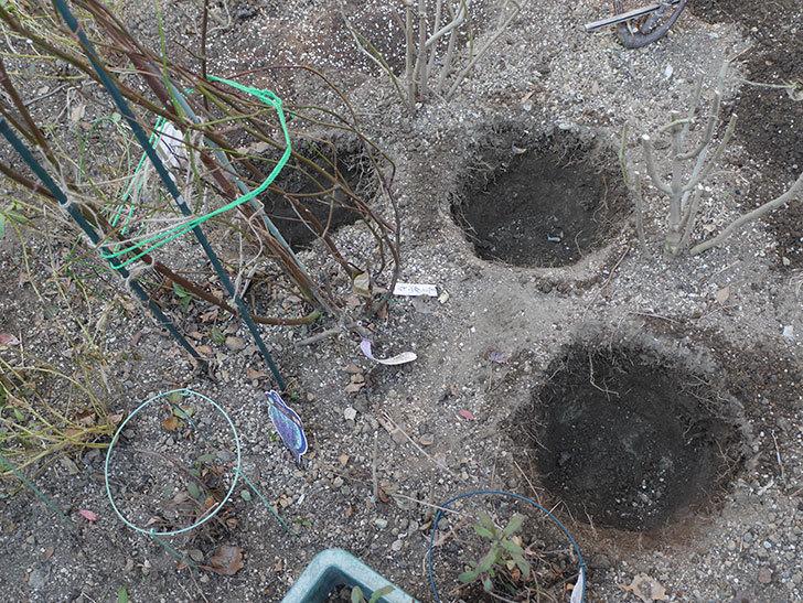 ウィンダミア(Windermere)に寒肥を施した。半ツルバラ。2021年-001.jpg