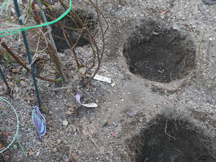 ウィンダミア(Windermere)に寒肥を施した。半ツルバラ。2021年-003.jpg