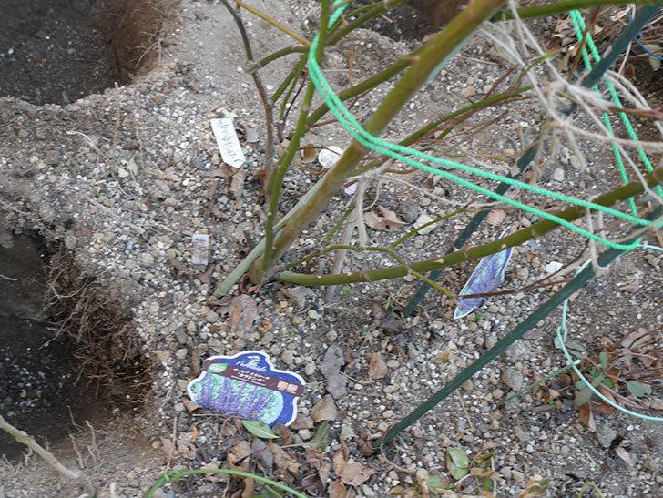 ウィンダミア(Windermere)に寒肥を施した。半ツルバラ。2021年-006.jpg