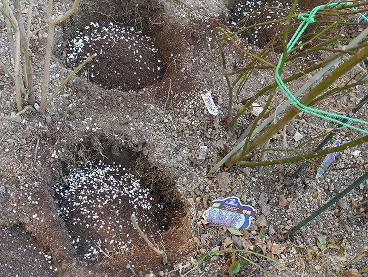ウィンダミア(Windermere)に寒肥を施した。半ツルバラ。2021年-013.jpg