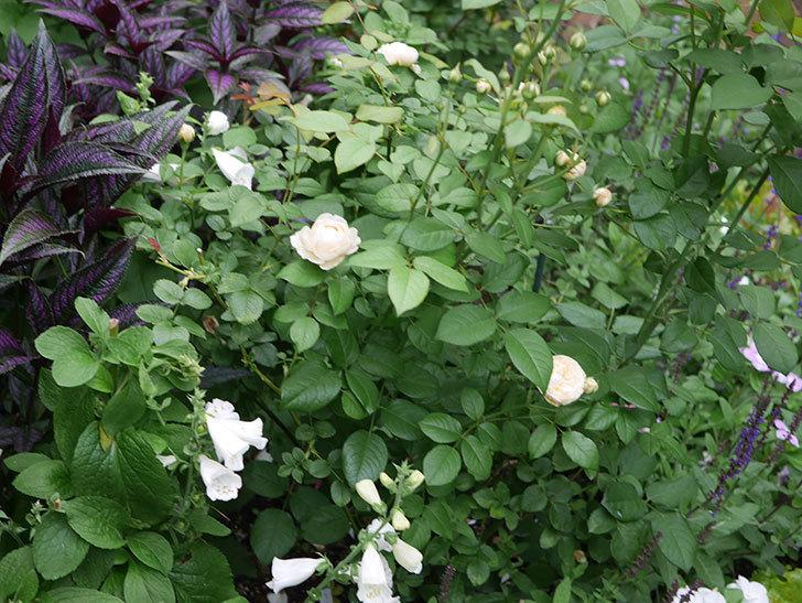 ウィンダミア(Windermere)の2番花がたくさん咲いた。半ツルバラ。2020年-001.jpg