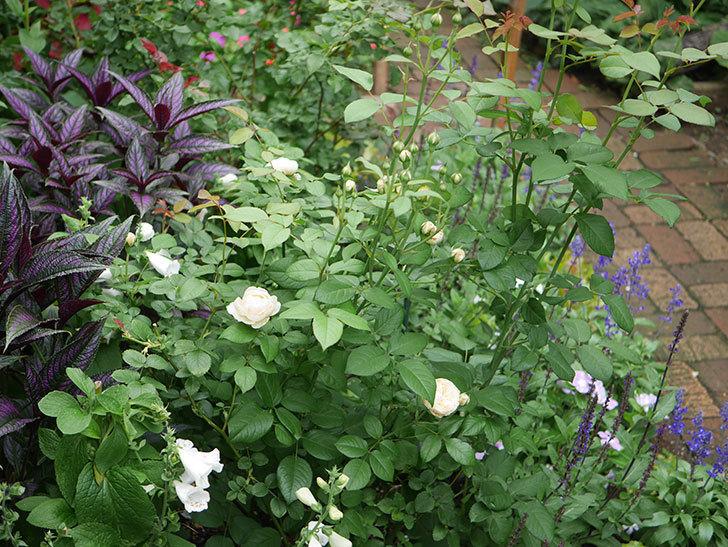 ウィンダミア(Windermere)の2番花がたくさん咲いた。半ツルバラ。2020年-002.jpg