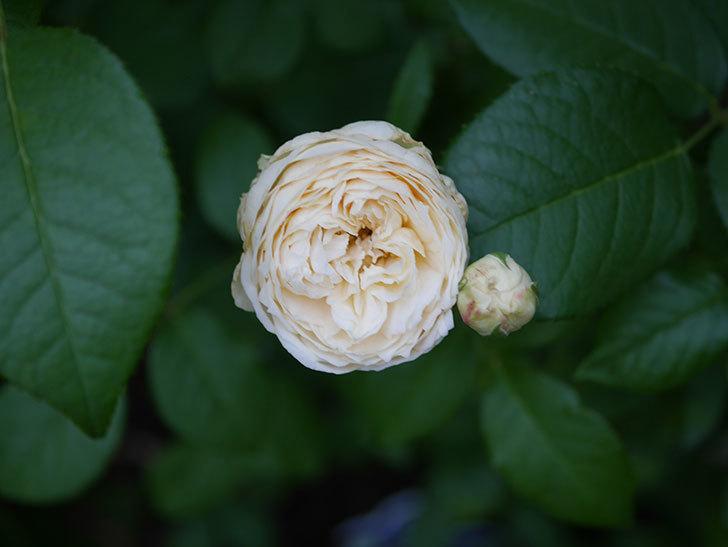 ウィンダミア(Windermere)の2番花がたくさん咲いた。半ツルバラ。2020年-005.jpg