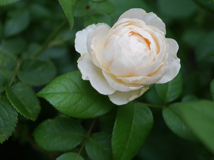 ウィンダミア(Windermere)の2番花がたくさん咲いた。半ツルバラ。2020年-006.jpg
