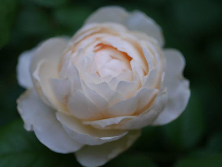 ウィンダミア(Windermere)の2番花がたくさん咲いた。半ツルバラ。2020年-007.jpg