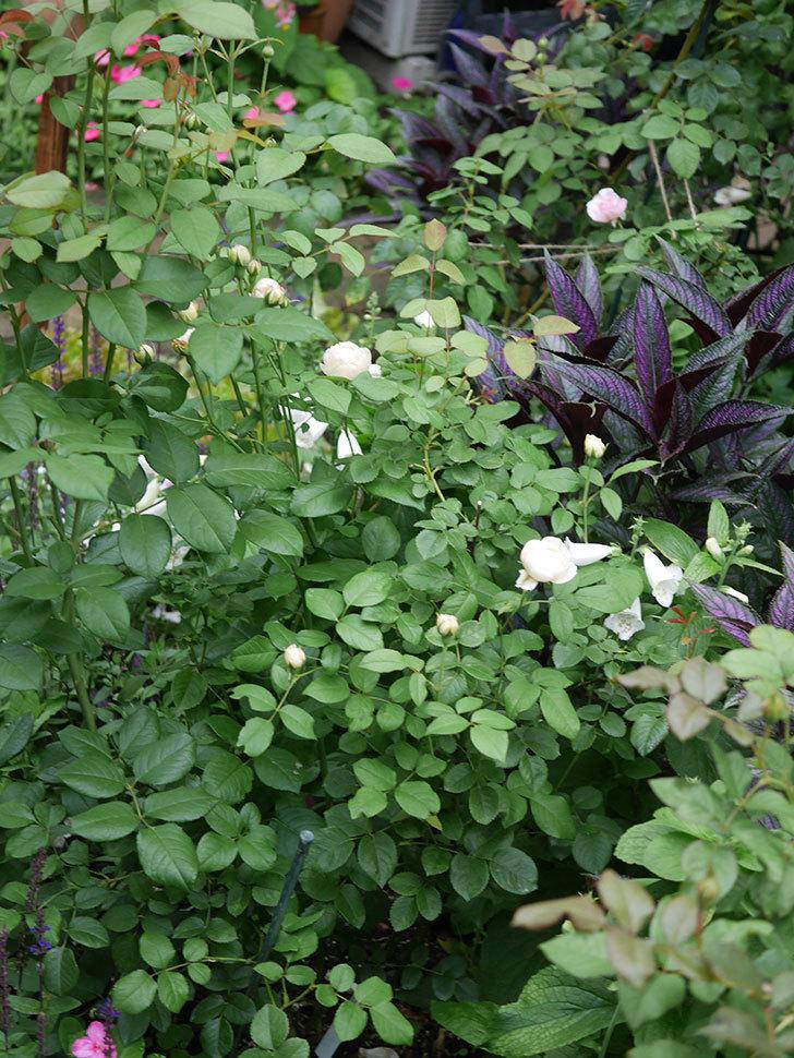 ウィンダミア(Windermere)の2番花がたくさん咲いた。半ツルバラ。2020年-010.jpg