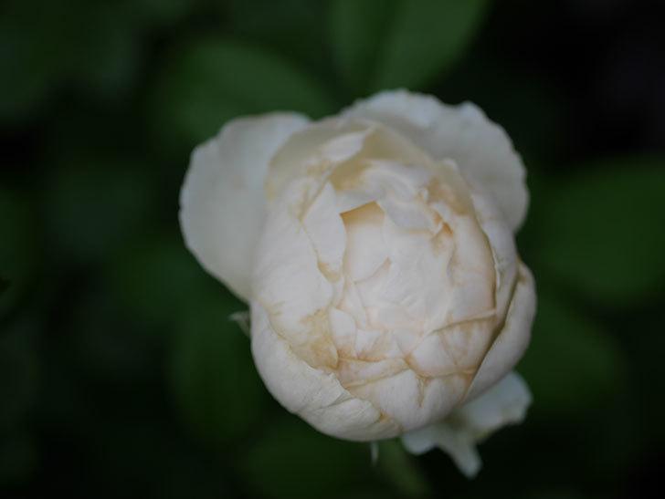 ウィンダミア(Windermere)の2番花がたくさん咲いた。半ツルバラ。2020年-011.jpg
