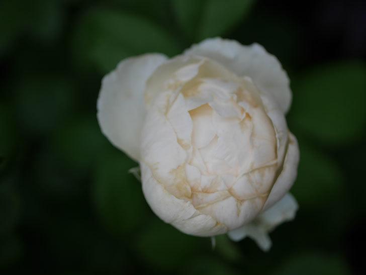 ウィンダミア(Windermere)の2番花がたくさん咲いた。半ツルバラ。2020年-012.jpg