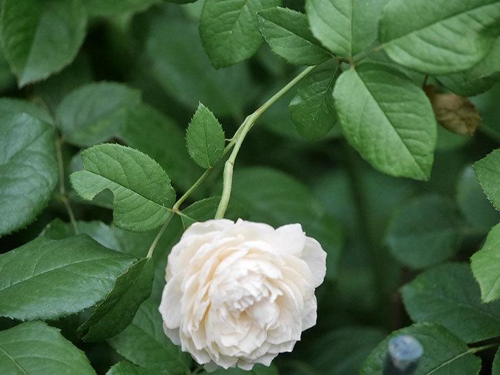 ウィンダミア(Windermere)の2番花がまた咲いた。半ツルバラ。2020年-002.jpg