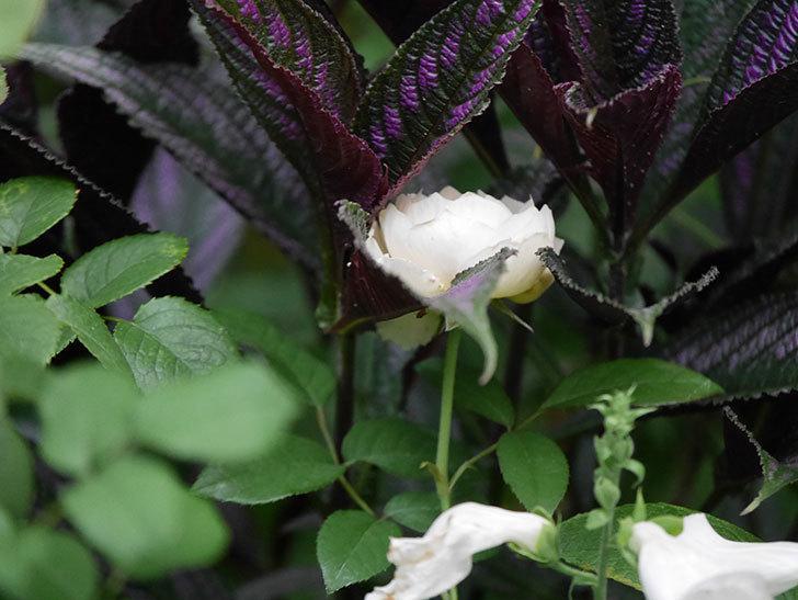 ウィンダミア(Windermere)の2番花がまた咲いた。半ツルバラ。2020年-003.jpg