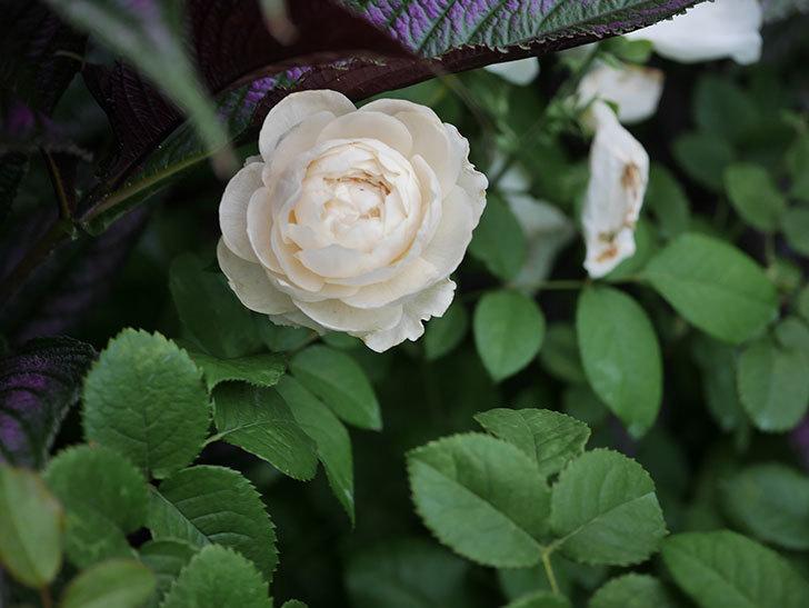 ウィンダミア(Windermere)の2番花がまた咲いた。半ツルバラ。2020年-004.jpg