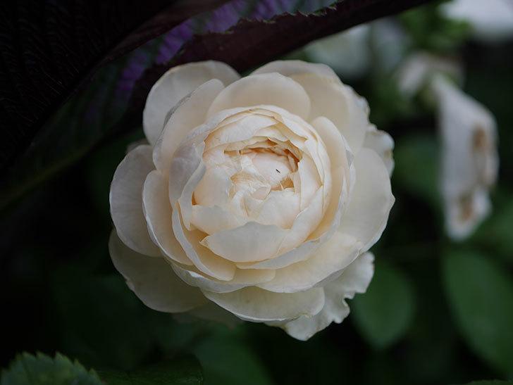 ウィンダミア(Windermere)の2番花がまた咲いた。半ツルバラ。2020年-005.jpg